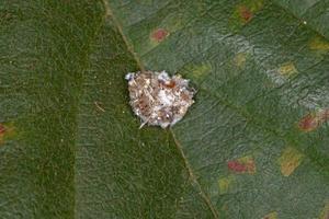 Green Lacewing Larva photo