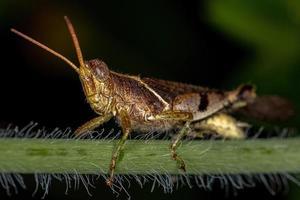 Adult Short-horned Grasshopper photo