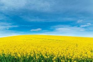 Cultivo amarillo de árbol de aceite de canola que se cultiva como aceite de cocina saludable o se convierte en biodiesel como alternativa a los combustibles fósiles. foto