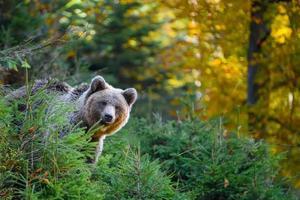Wild Brown Bear in the autumn forest. Animal in natural habitat. Wildlife scene photo