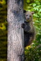 Wild Brown Bear leans against a tree in the autumn forest. Animal in natural habitat. Wildlife scene photo