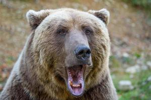 Portrait wild Brown Bear in the autumn forest. Animal in natural habitat. Wildlife scene photo