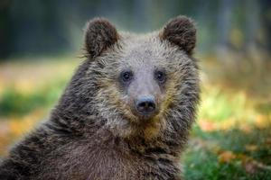 Portrait baby cub wild Brown Bear in the autumn forest. Animal in natural habitat. Wildlife scene photo