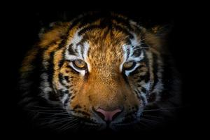 Tiger portrait on a black background. View from the darkness photo