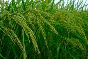 The ears of rice were upright with the wind in the summer photo