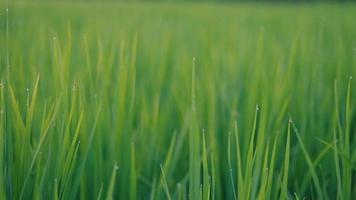 close-up groene jonge rijstveld textuur met de wind waait. schuif schot. video