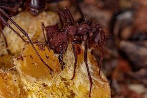 Atta Leaf-cutter Ant photo