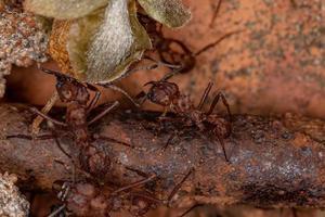 Adult Acromyrmex Leaf-cutter Ant photo