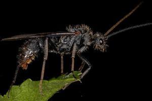 Adult Winged Male Ectatommine Ant photo