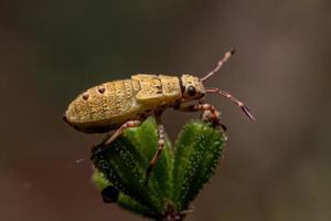 True Bug Nymph photo
