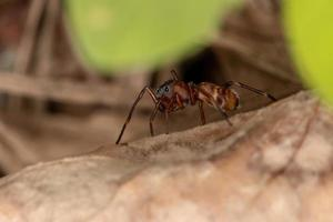 Ant Mimic Jumping Spider photo
