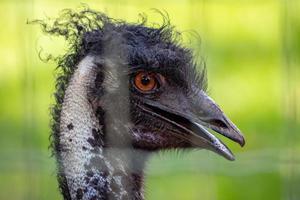 emu el segundo pájaro vivo más grande foto
