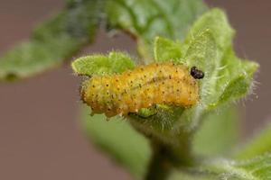 Flea Beetle Larvae photo