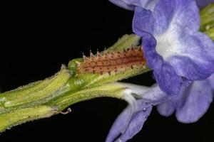 Flea Beetle Larva photo
