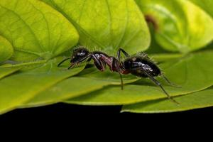 Adult Female Six-Spotted Carpenter Ant photo