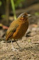 Extremely Endangered Giant Antpitta, Andes Cloud Forest, Ecuador photo