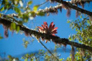 Bromeliad, Andes Cloud Forest, Ecuador photo