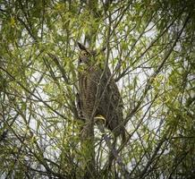 PeekABoo Great Horned Owl photo