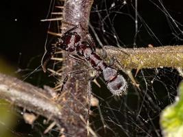 Small Brazilian Ant photo