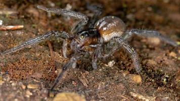 Brazilian Wolf Spider photo