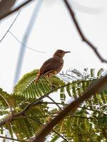 Rufous Hornero Bird photo