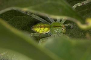 Green Huntsman Spider photo