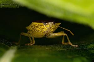 Adult Stink Bug photo