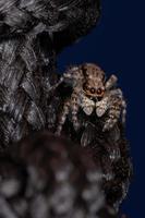 Gray Wall Jumping Spider photo