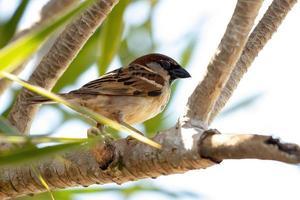 House Sparrow Bird photo