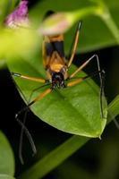 Yellow Assassin Bug photo