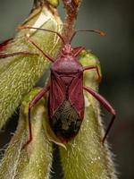 Adult Leaf-footed Bug photo