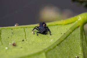 Asian Lady Beetle Larvae photo