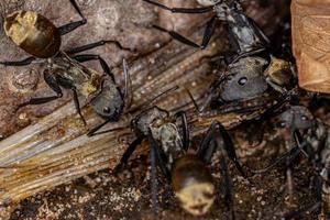 Shimmering Golden Sugar Ant of the worker caste photo