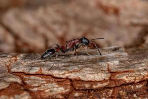 Adult Red Twig Ant photo