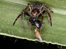 Crab Spider preying on an ant photo