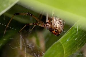 Brown Widow Spider photo