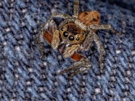 Adanson House Jumping Spider photo