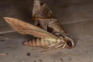 Polilla esfinge macroglosina adulta muerta foto