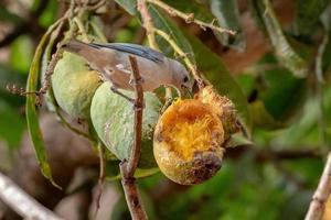 Sayaca Tanager Bird photo