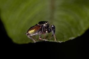 Small Jumping Spider photo