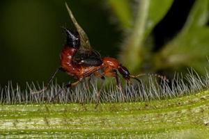 Adult Whiplash Beetle photo