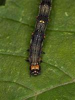 small Butterfly larva photo