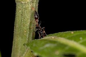 Adult Female Twig Ant photo