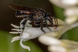 Adult Stingless Bee interacting with Typical Treehoppers Nymphs photo