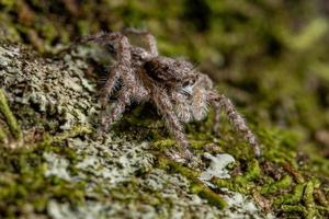 adult male jumping spider photo