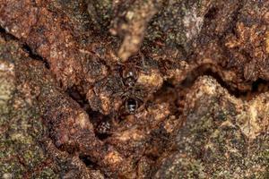 Adult Cecropia Ant photo