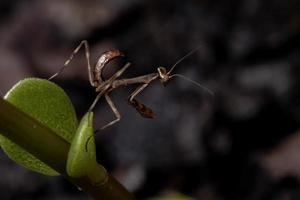 Male Mantid nymph photo