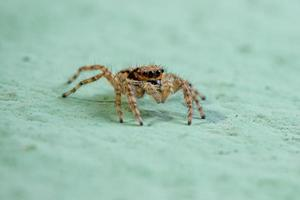 Small Gray Wall Jumping Spider photo