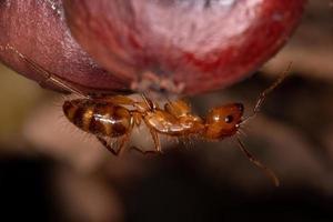 Adult Carpenter Ant photo
