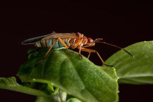 Adult Cotton Stainer Bug on a basil leaf photo